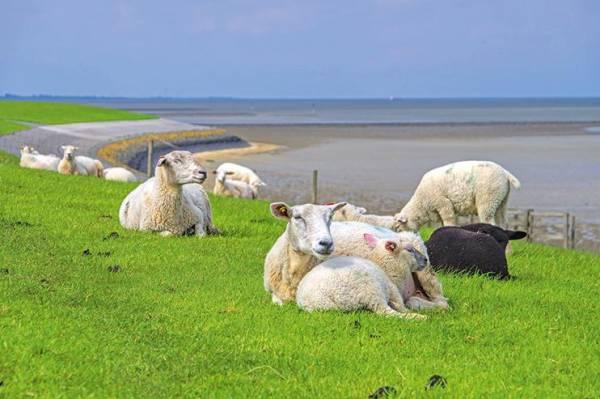 Zahlenmässig auf Texel klar in der Mehrheit: Schafe